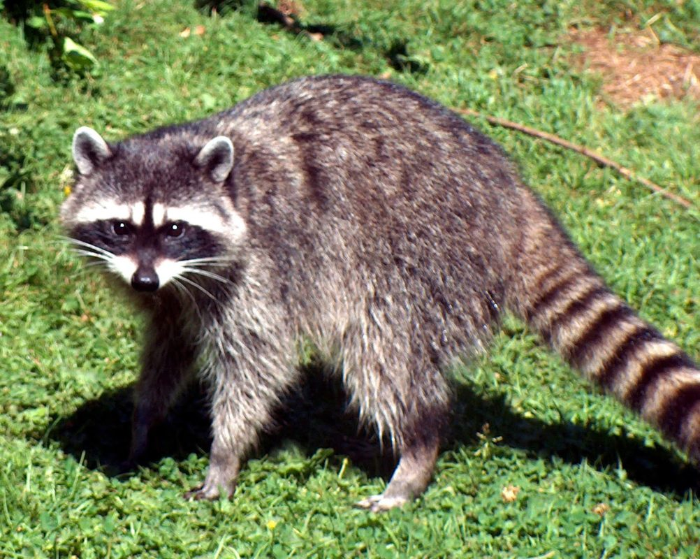 Raccoons, Squirrels and Opossums Humanely Removed