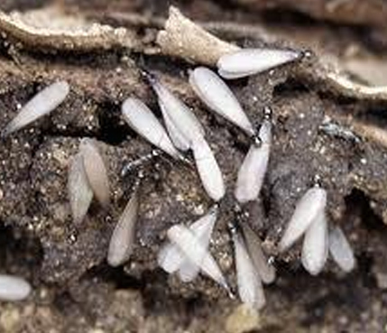 Get Rid of Termites Now