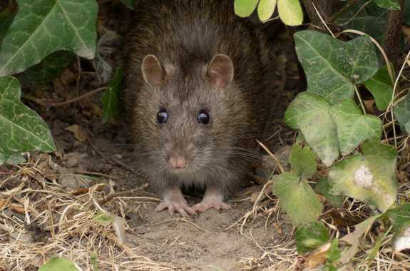 Rodents, Mice, Rats Removal Service in Brooklyn, NYC, Queens, Nassau & Bronx